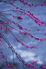 red bud, trees, merced river, yosemite national park, mountains, water, sierra, merced, ca, california