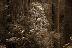 redwood national park, redwoods, rhododendrons, rhodes, forest, trees, n ca, northern ca, northern california, california, pacific coast, coast redwoods, foliage, flora, sun beams, sunbeams, sunrise