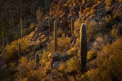 Suguaro Cactus Sunset 1