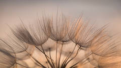 wyoming, grand teton national park, tetons, snake river, snake, river, mountains, trees, water, color, aspens, sunset, schwabaker, flora, salsify