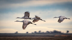 migratory, birds, fowl, geese, sandhill, cranes, central valley, sacramento valley, california, flyover, ponds, stockton
