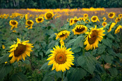 italy, europe, tuscany, pisa, flora, sunflowers,