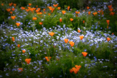 wildflowers, spring, flowers, poppy, poppies, ca, california, flora,
