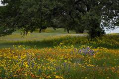wildflowers, spring, texas, trees, tx