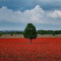 texas, tx, spring, flora, trees, clouds, hill country, poppies,