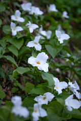Great Smoky Mountains, smokies, smokys, Tennessee, tn, north carolina, nc, spring, bloom, mountains, wildflowers, trillium, flora