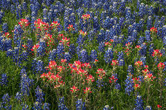texas, tx, wildflowers, blue bonnets, indian paint brush, texas hill country, flora, lupine, flora
