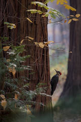 yosemite, national park, sierra, valley, fall, trees, merced, flora, mountains, leaves, ca, colors, dogwoods, merced river, merced, maples, wildlife, woodpecker, fauna, fog