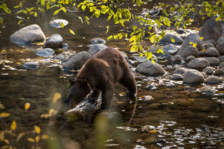 Black Bear Crossing the Merced