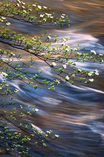 Spring Dogwoods and the Merced River