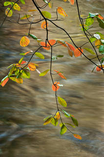 Fall Dogwood and the Merced River