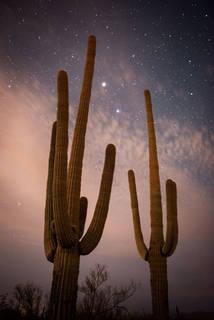Saguaro Cacti in the Predawn Light