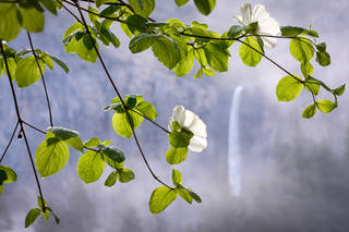 Spring Dogwoods and Bridalveil Falls