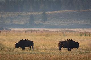 Buffalos & Blackbirds