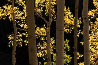 Aspen Backlight, Owl Creek 1