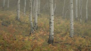 Aspen Grove Fog