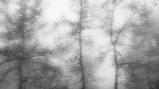 Aspens in Fog