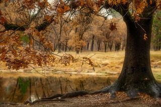 Black Oak Fall
