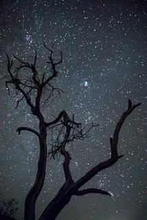 Acacia Tree & Stars I
