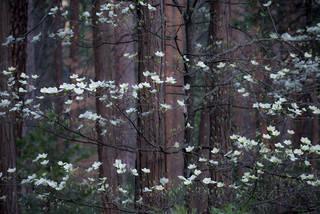 Dogwoods and Cedars