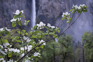 Bridal Veil Falls Dogwood