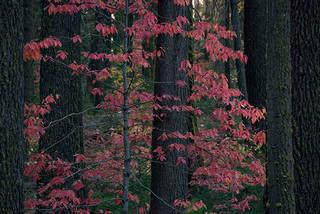 Dogwoods & Firs