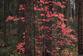 Fall Dogwood Stand
