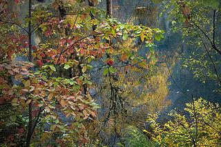 Merced River Fall Dogwood Reflections