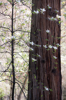High Key Dogwoods & Cedar