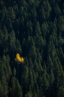 Lone Aspen