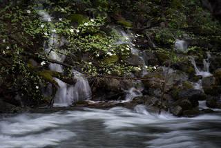 Dogwoods Merced River