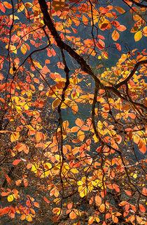 Fall Dogwood Backlight
