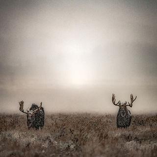 Moose in Fog