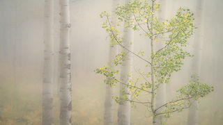 Aspens & Fog