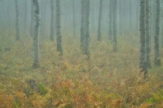 Aspens Fog & Snow