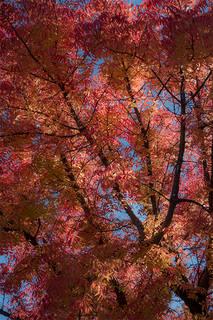Fall Colors Pistachio Trees 2