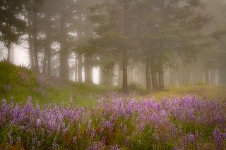 Lupines & Fog 3