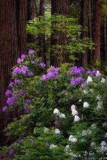 Rhodies & Redwoods 1