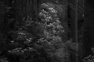 Rhodies and Redwoods BW