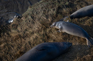 Elephant Seal at Rest