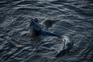 Elephant Seals at Play 2