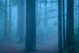 Redwood Morning Fog 1
