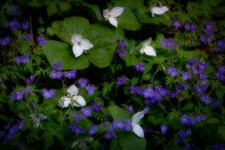 Trilliums & Phacelia, Spring