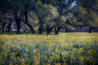 Oaks & Wildflowers 2