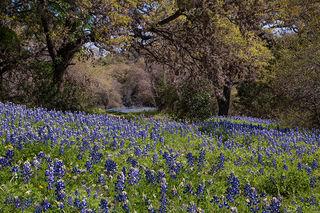 Blue Bonnets & Oaks