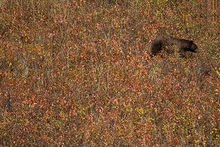 Black Bear Foraging