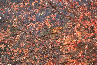 Mountain Maple Sunrise