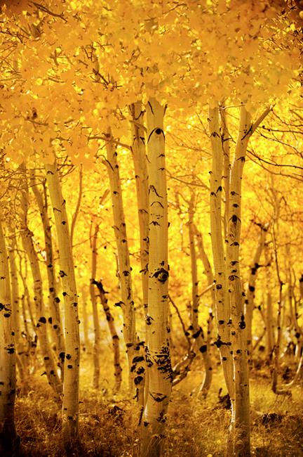 eastern sierra, sierra, aspens,   aspendell, fall, ca, california, trees, mountains, owens river valley, owens river, photo