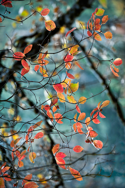 dogwoods, trees, mountains, sierra, spring, yosemite, water, merced river, merced, fall, ca, california, photo