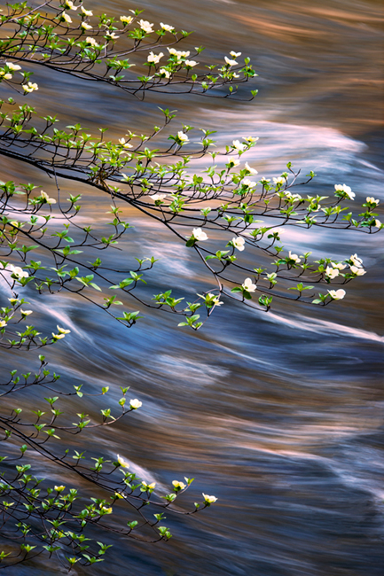 dogwoods, trees, mountains, sierra, spring, yosemite, water, merced river, merced, spring, ca, california, photo